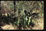 Agave sp. -02