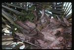 Anthurium gymnopus