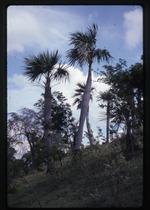 Coccothrinax spissa (swollen silver thatch palm) -04